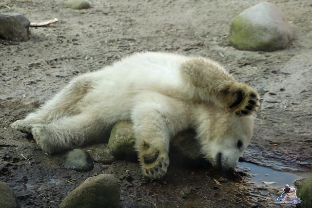 Eisbär Lili im Zoo am Bremerhaven 10.04.2016 Teil 2  0148