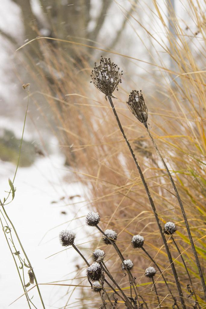 snowy seedheads v