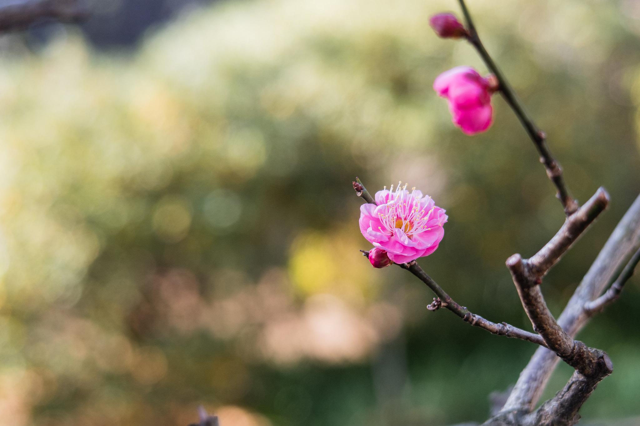 2016-01-03 お寺の寒紅梅 001-10