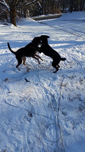 Penny and Teutul Playing in the Snow - Lapdog Crea