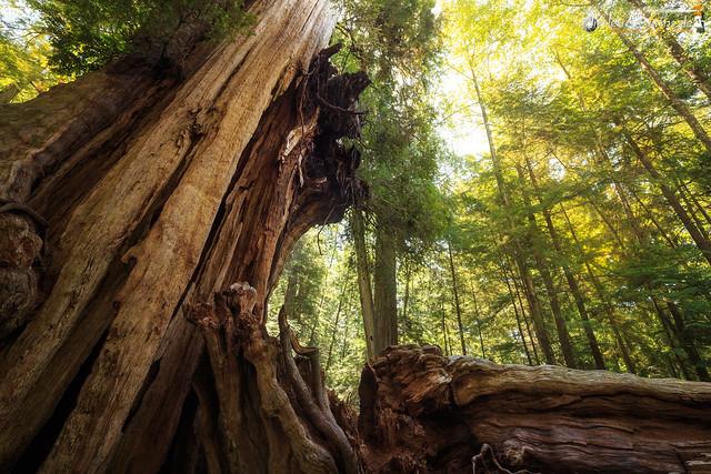 The Big Red Cedar