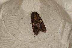 Spodoptera mauritia