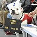 Cano, a 4-year-old American Bulldog, watches a recruit Pass-in-Review ceremony . by Official U.S. Navy Imagery