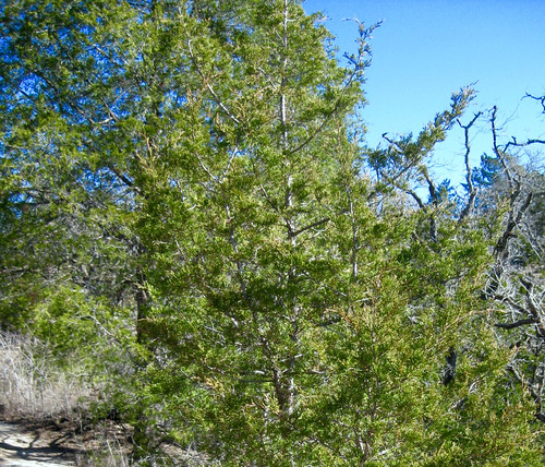 Cedar Juniper