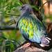 Nicobar pigeon (Caloenas nicobarica), Dusit Zoo, Bangkok by Gösta Knochenhauer