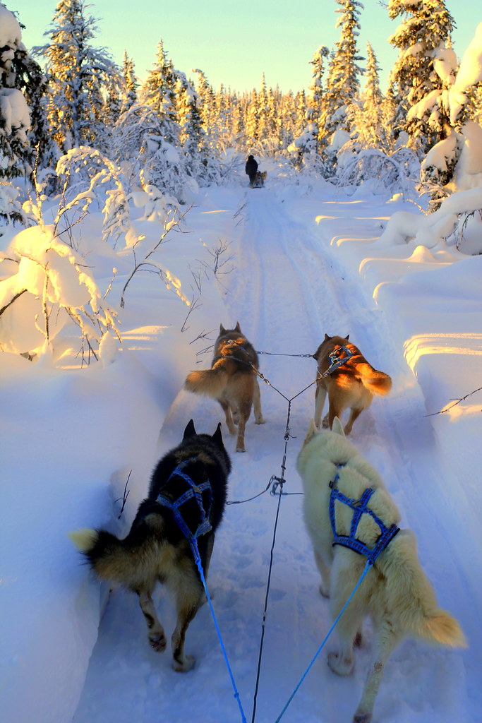 Arctic Dog Sledding Kiruna, Sweden (50)