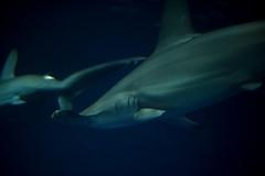 Hammerhead shark - II