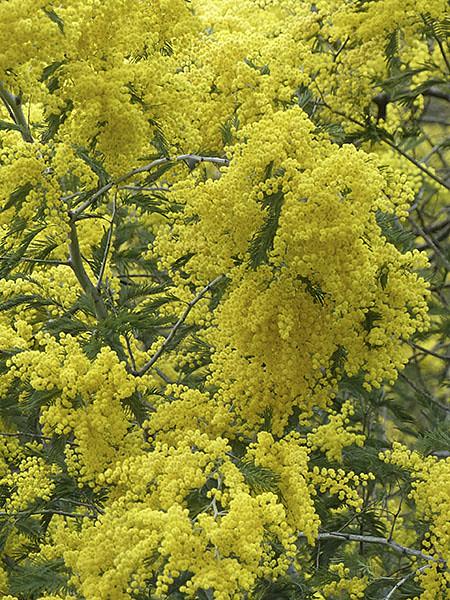 encore du mimosa