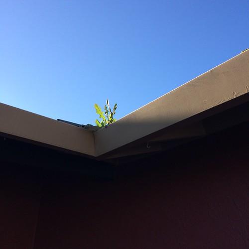 見上げたら雨樋に雑草が凛と