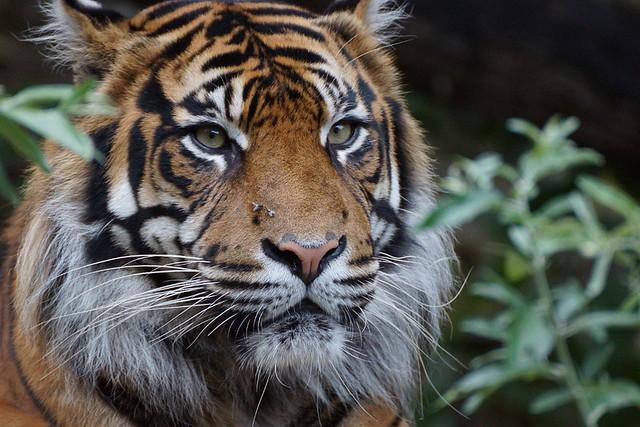 14 Tigre de Sumatra Doué la Fontaine BD