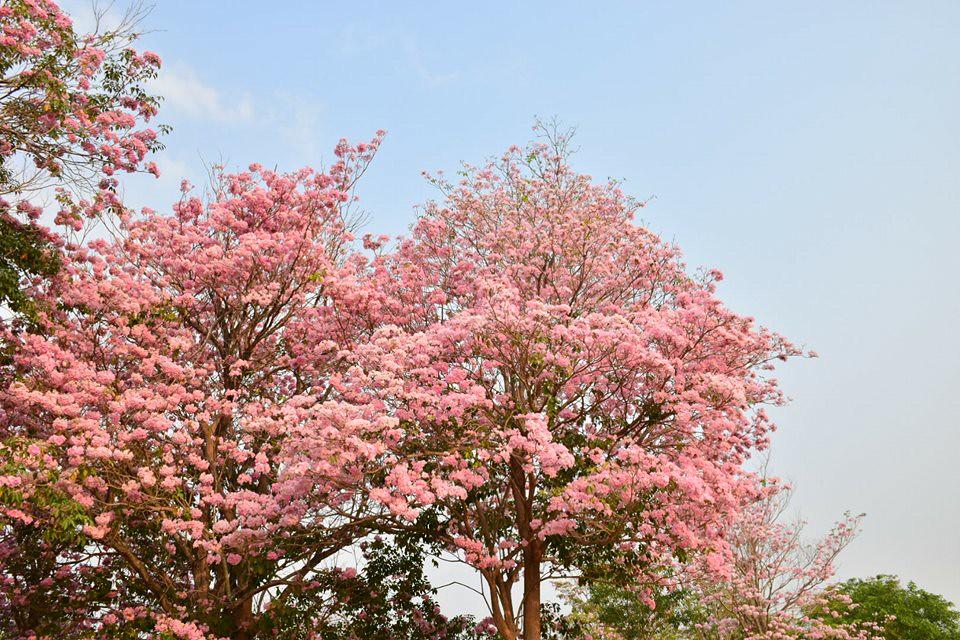 Tabebuia rosea (27)