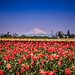 Tulips with Mt. Hood. by PrachiVerma