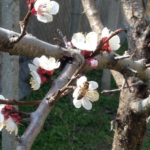 Мой молоденький абрикос морозам не сдался! Цветы целы, и на них прилетел целый рой пчел! #старыйкрым  #сад