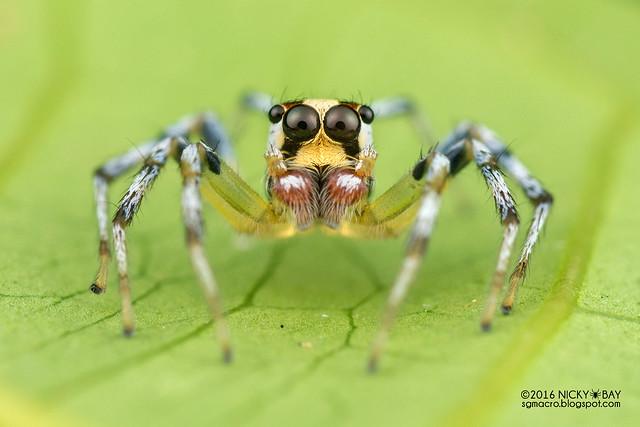 Jumping spider (Telamonia sp.) - DSC_8016