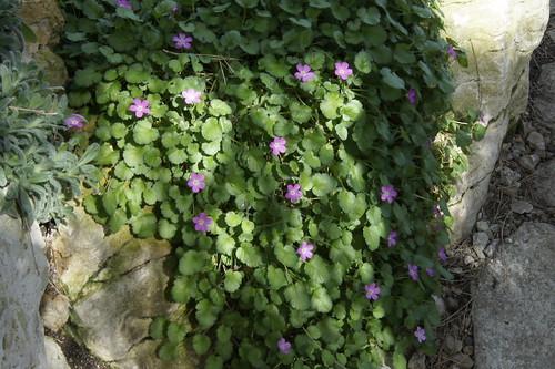 Erodium reichardii (Syn.: Erodium chamaedryoides)