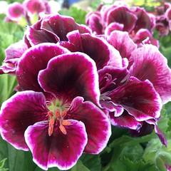 Martha Washington geranium AKA regal geranium. #blooms #flowers #flowersofinstagram #spring #sanantonio #satx #spring2016 #springtime #ipodphotography #RainbowGardens