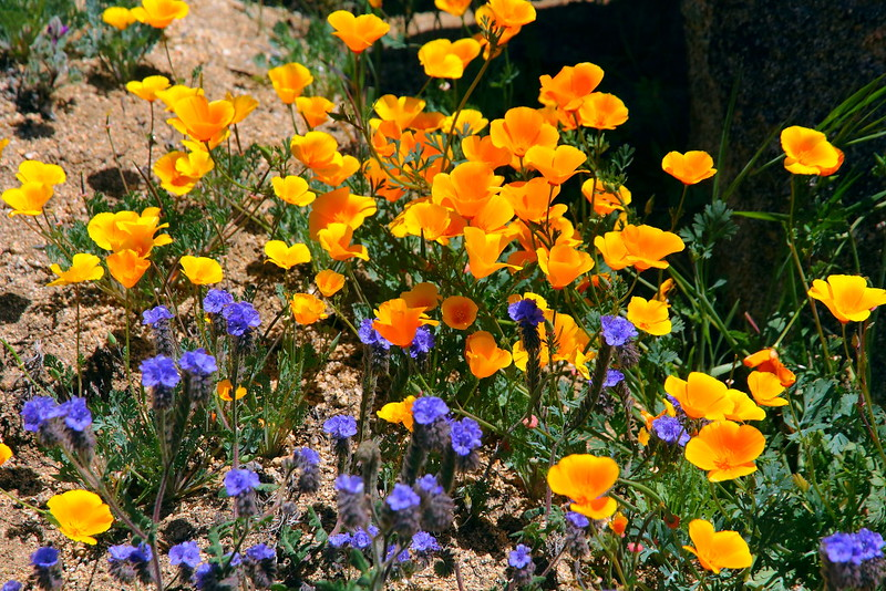 IMG_2850 California Poppies on PCT