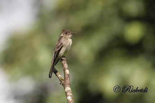 contopuscinereus tropicalpeewee birdofcostarica moucherollecendré