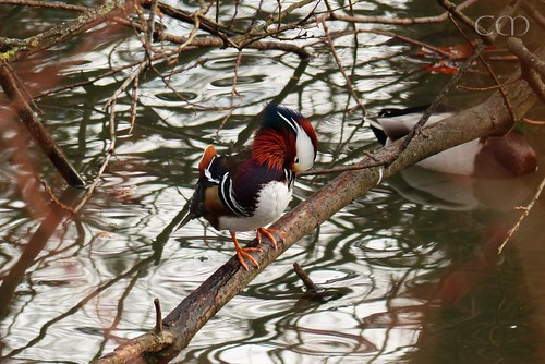 Pretty pretty mandarin duck!