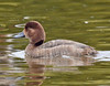 Redhead Duck, immature