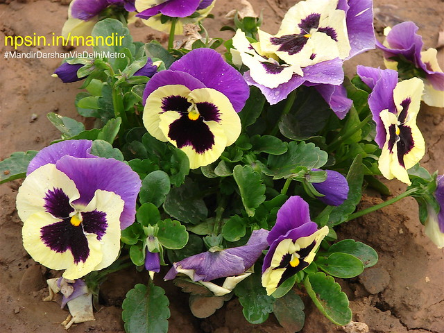 Violet color flower looking like a face of barking puppy (a child dog) in garden area