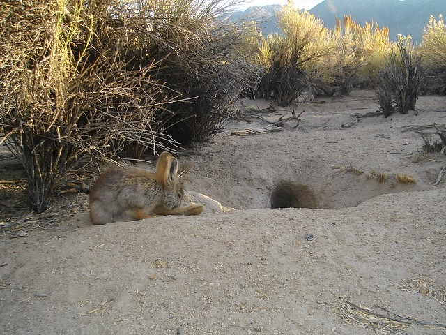 pygmy rabbit grooming