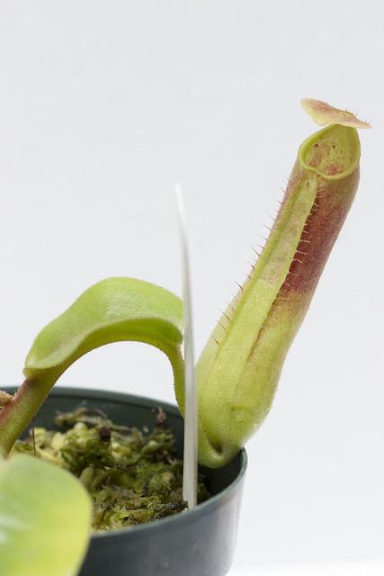 N. truncata