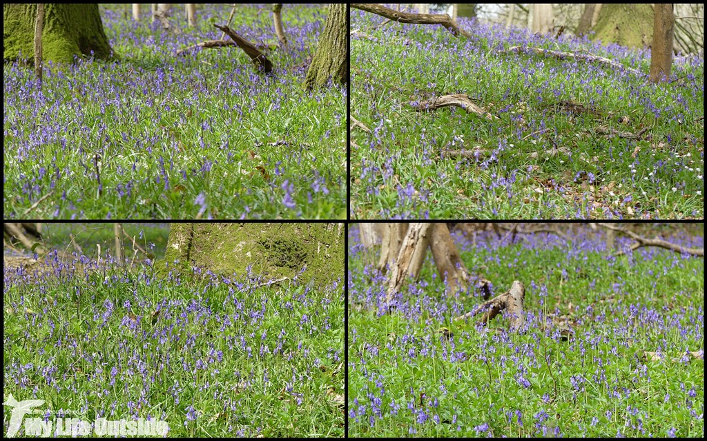 Bluebells, Wye Valley