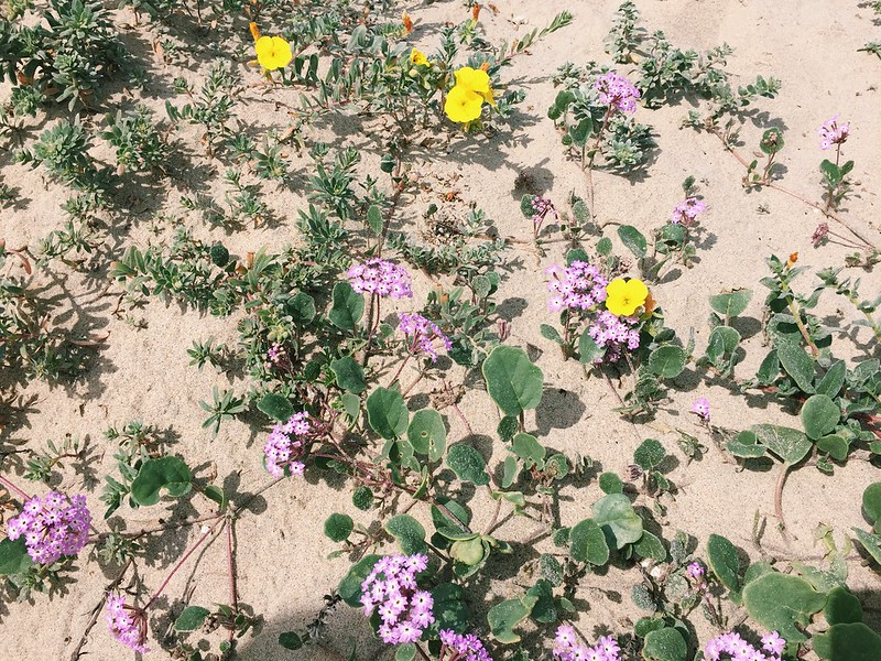 Beach Primrose and Sand Verbena