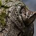 Western Screech Owl by OwlPurist
