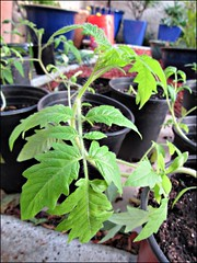 Tomato plants and seedlings
