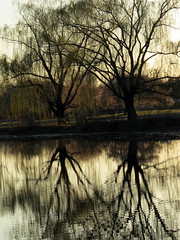 branching willows
