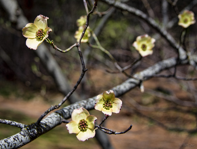 Yosemite tree blossoms