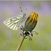 Green Veined White. by nigel kiteley2011