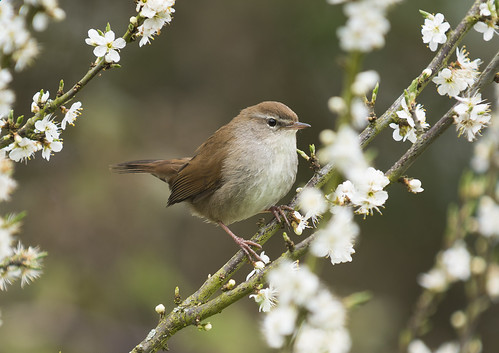 Cetti's Warbler, Broom GP, 18th April 2016