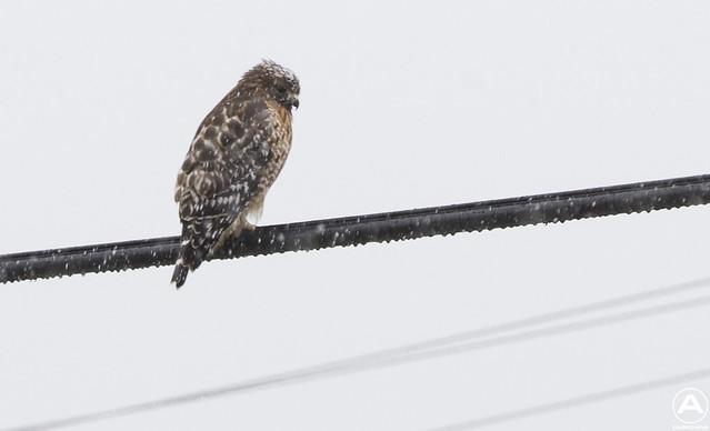 Snow Hawk (1/320 shutter)