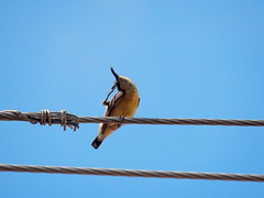 Purple sunbird (f)