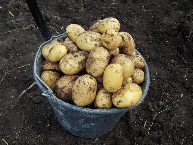 Potato crops