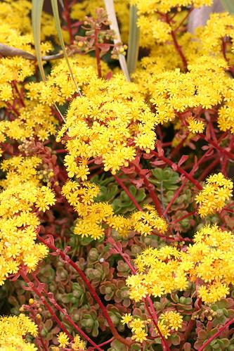 Aeonium spathulatum cruenatum