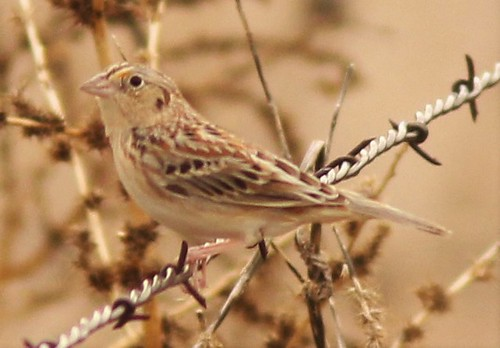 IMG_9886 Grasshopper sparrow, shows dark lateral crown-stripe Tubac, Presidio State Prk, near Anza trail Feb. 18, 2016