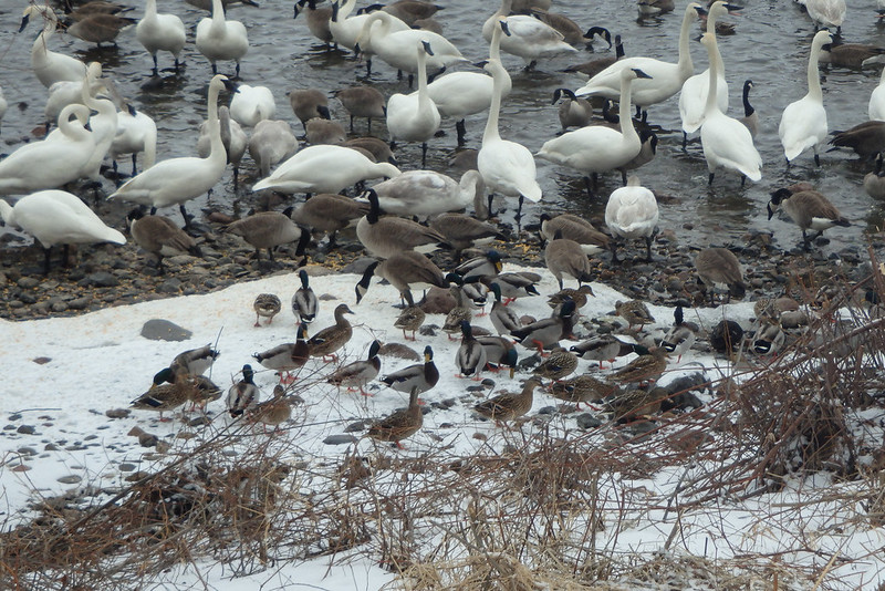 a dozen mallards on the snowy shore, plus a mixture of geese and swans at the edge and in the water