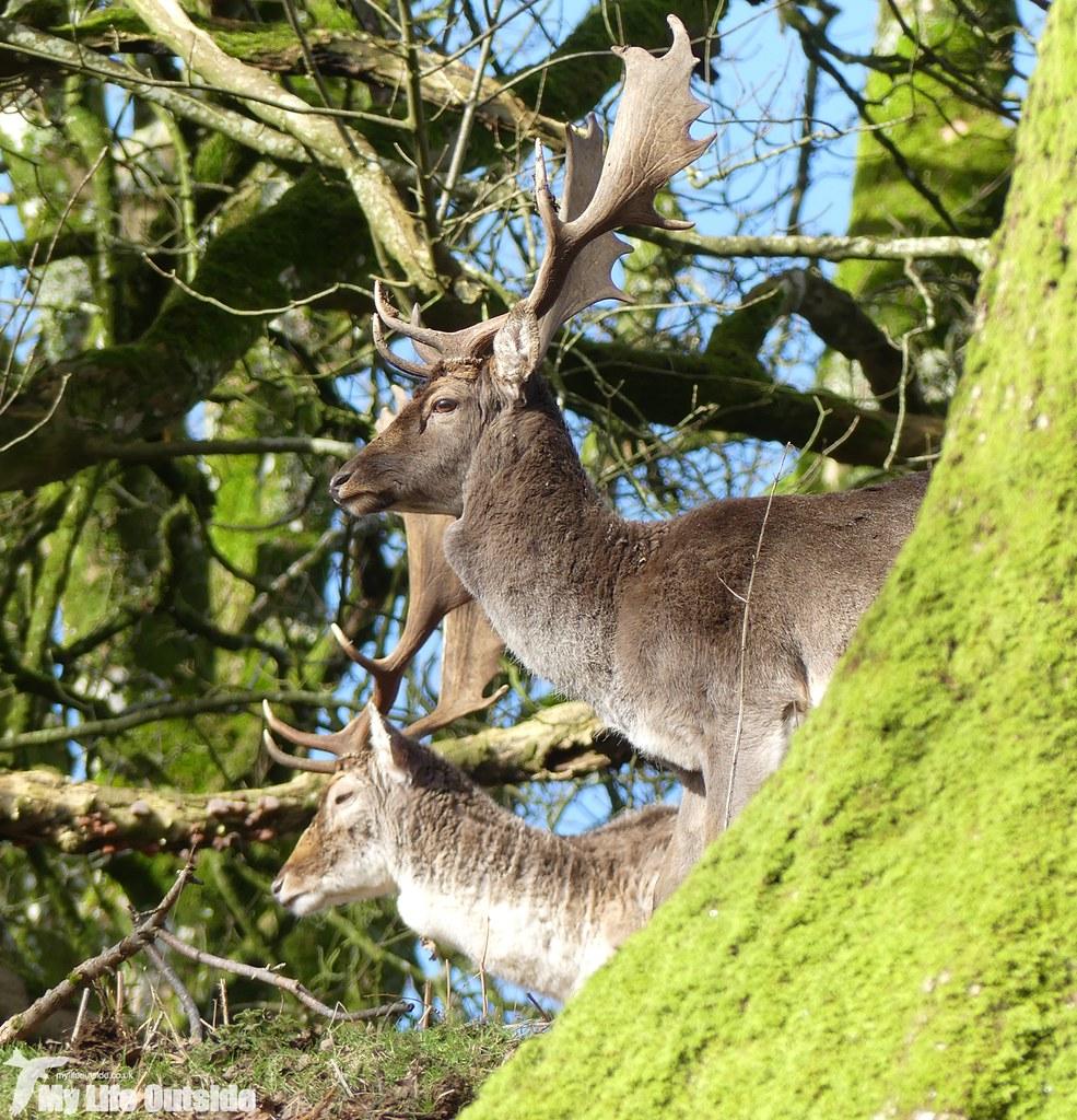 P1000230 - Fallow Deer, Dinefwr