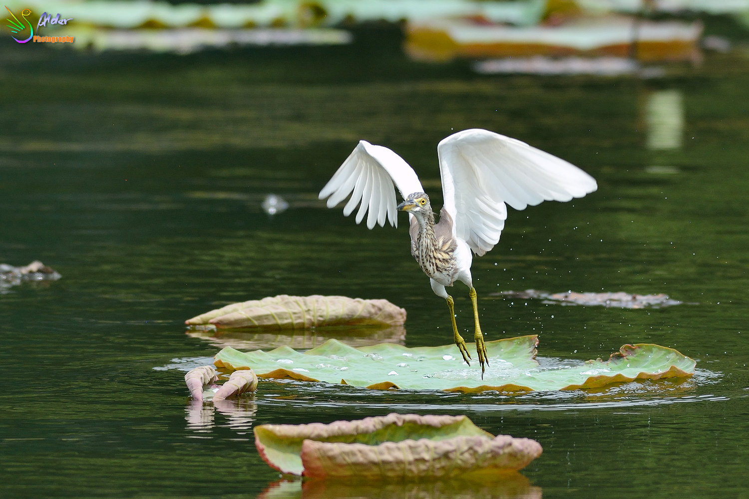 Chinese_Pond_Heron_1589