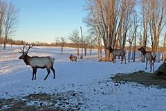 Elk Viewing Sleigh Ride - Thunder Bay Resort, Hillman MI