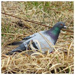 gor-golub
