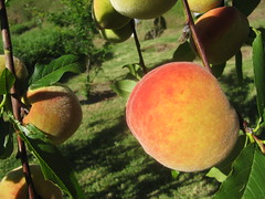 starr-130605-2257-Prunus_persica_var_persica-fruiting_habit_Earli_Grande-Ehu_Rd_Piiholo-Maui
