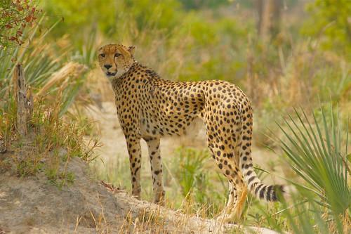 feline cheetah predator moremi gepard acinonyxjubatus okavangodelta guépard jachtluipaard