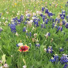 Texas wildflowers #sanantonio