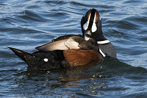 Barnegat: Harlequin Duck Preening