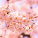Sakura by Yoshikazu TAKADA